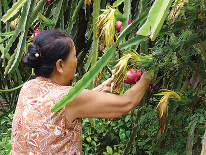 Binh Thuan Dragon Fruit Registered for Protection Abroad