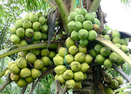Ben Tre to Host Third Coconut Festival in 2012