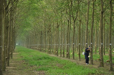 Joining Force to Improve Competitiveness and Value of Vietnam Rubber