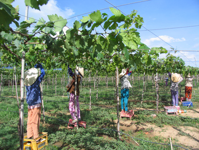 International Grapes and Wine Festival 2014: Awakening the Enormous Economic Potential of Vines