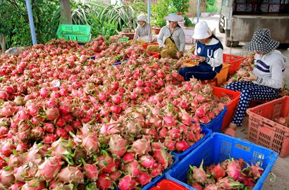 Promoting Export of Binh Thuan Dragon Fruit