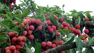 Bac Giang Lychees Exported to the US
