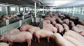 """Rescuing"" Pork Prices, Supporting Farmers"