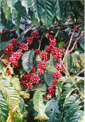 Vietnam Ranks Among World's Biggest Robusta Producers
