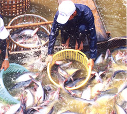 Vietnam Expects US$1.2 Bln Catfish Export Revenues in 2008