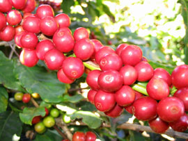 Vietnam Seeks to Boost Coffee Exports to Canada