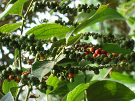 U.S. Takes Lead in Importing Vietnam Pepper