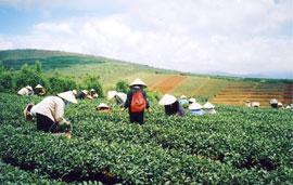 Vietnam Earns US$145M from Tea Export in Jan-Oct