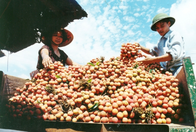 Vietnamese Litchi Favored in Many New Markets